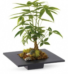 Potted Money Tree